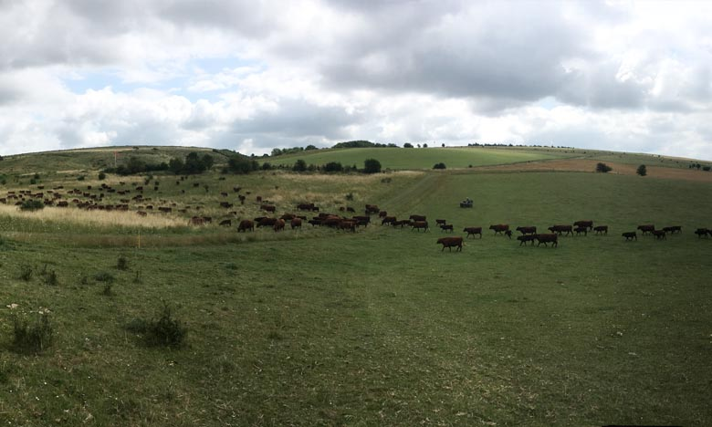 Cows and calves going back out to graze the ranges