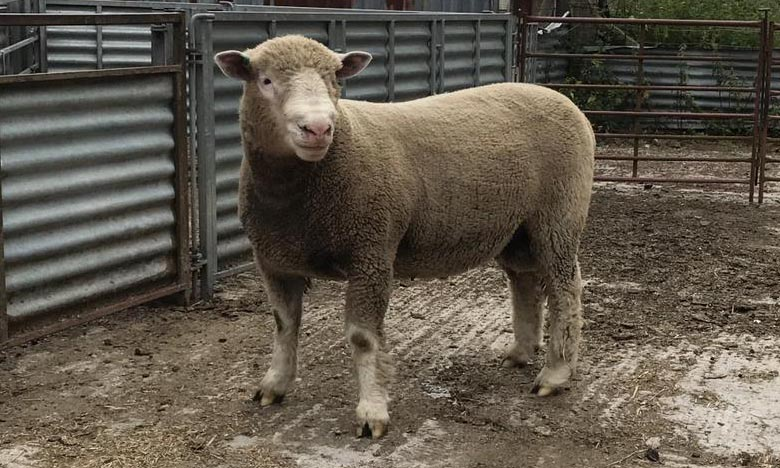 2 Ram Lambs off to Sale at Sherbourne