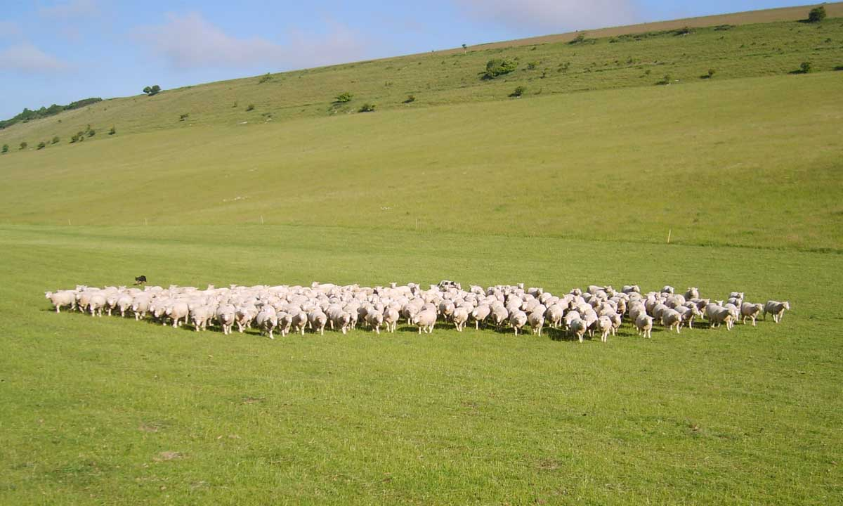 Blackhill flock wins Most Improved Flock 2014